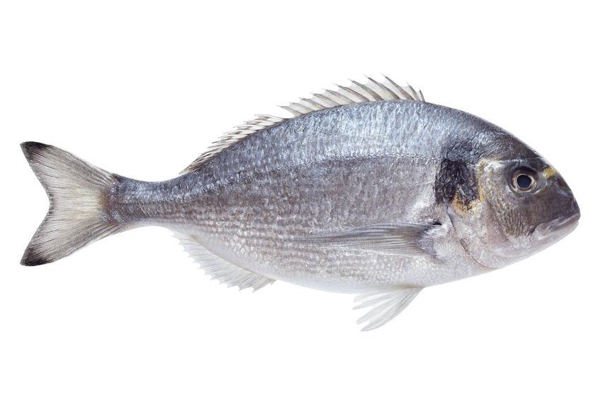 דג הדניס